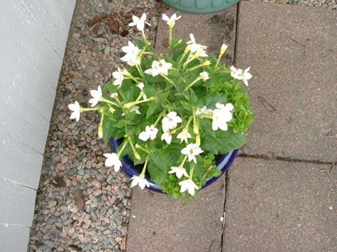 16.Blomstertobak.jpg